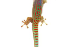 Phelsuma ornata – felsuma ozdobna