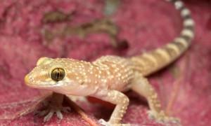 Hemidactylus turcicus – gekon turecki
