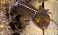 Gekko vittatus – gekon paskowany, gekon czekoladowy