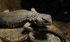 Uromastyx dispar