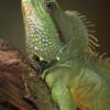 Physignathus cocincinus - agama błotna