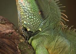 Physignathus cocincinus – agama błotna