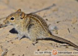 Rhabdomys dilectus – trawomyszka zuluska, mysz trawna*