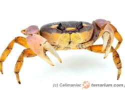 Crustacea – skorupiaki