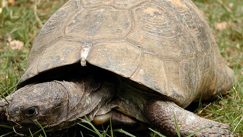 Jaką ilość pokarmu powinny otrzymywać żółwie lądowe z basenu Morza Śródziemnego?