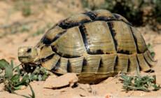 Testudo kleinmanni – żółw egipski