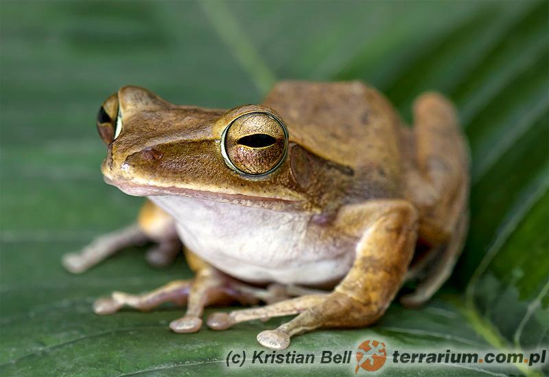 Polypedates leucomystax – żaba latająca bambusowa*