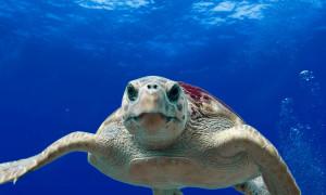 Wzrost globalnych temperatur może spowodować zaburzenia w populacji żółwi Karetta (Caretta caretta) i pozostałych żółwi morskich