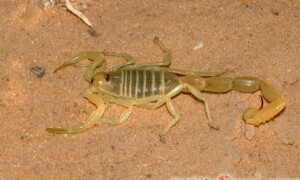 Buthacus leptochelys – skorpion