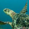 Eretmochelys imbricata - żółw szylkretowy