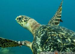 Eretmochelys imbricata – żółw szylkretowy
