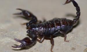 Euscorpius carpathicus – skorpion karpacki