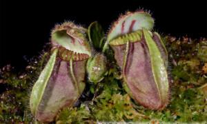 Cephalotus follicularis - cefalotus bukłakowaty