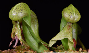 Darlingtonia californica – darlingtonia kalifornijska