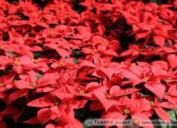 Euphorbia pulcherrima – poinsencja, gwiazda betlejemska, wilczomlecz piękny