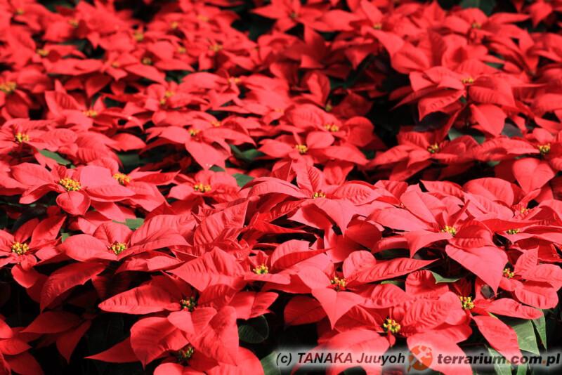 Euphorbia pulcherrima - gwiazda betlejemska