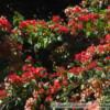 Bougainvillea glabra - bugenwila gładka