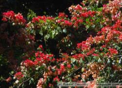Bougainvillea glabra – bugenwila gładka, kącicierń gładki