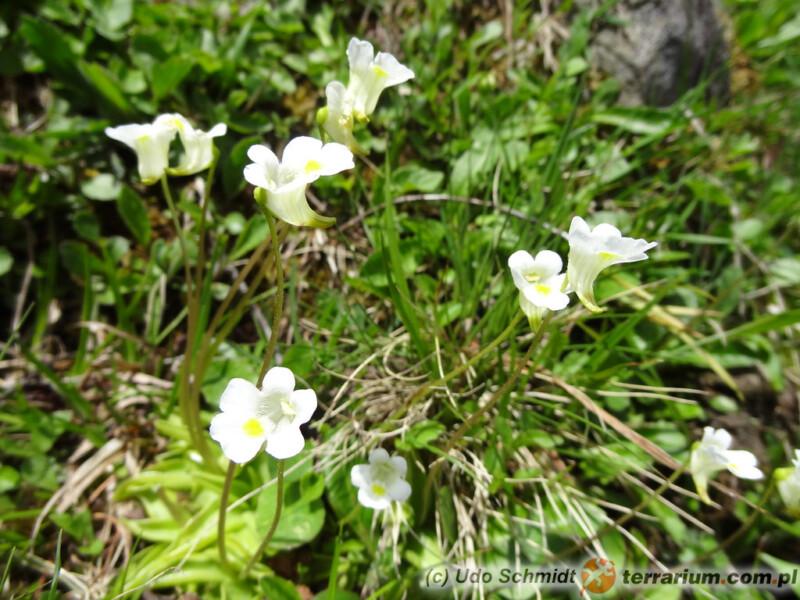 Pinguicula alpina - tłustosz