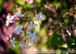 Jasminum polyanthum – jaśmin wielokwiatowy