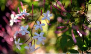 Jasminum polyanthum - jaśmin wielokwiatowy