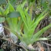 Catopsis berteroniana - katopsis