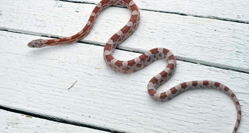 Mój wąż nie je – Pomocy!