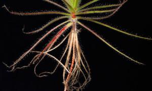Roridula – tuliłezka