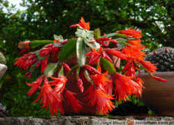 Rhipsalidopsis (Hatiora) gaertneri – kaktus wielkanocny