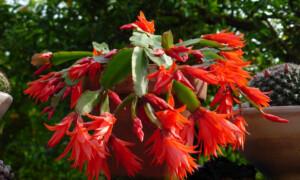 Rhipsalidopsis (Hatiora) gaertneri - kaktus wielkanocny
