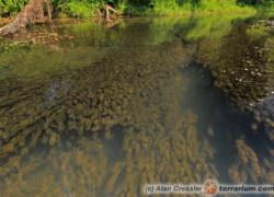 Egeria densa – moczarka argentyńska
