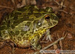 Pyxicephalus edulis – żaba byk*, żaba olbrzymia**, afrykańska żaba byk***