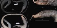 Nowy gatunek warana z grupy Varanus indicus, z wyspy Mussau (Papua-Nowa Gwinea)