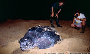 Żółwie skórzaste (Dermochelys coriacea) to największe żółwie współczesnego Świata