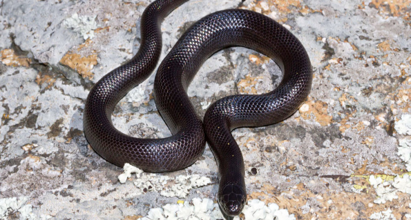 Lampropeltis nigrita – lancetogłów czarny