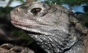 Sphenodontidae – hatteriowate, hatterie, tuatary