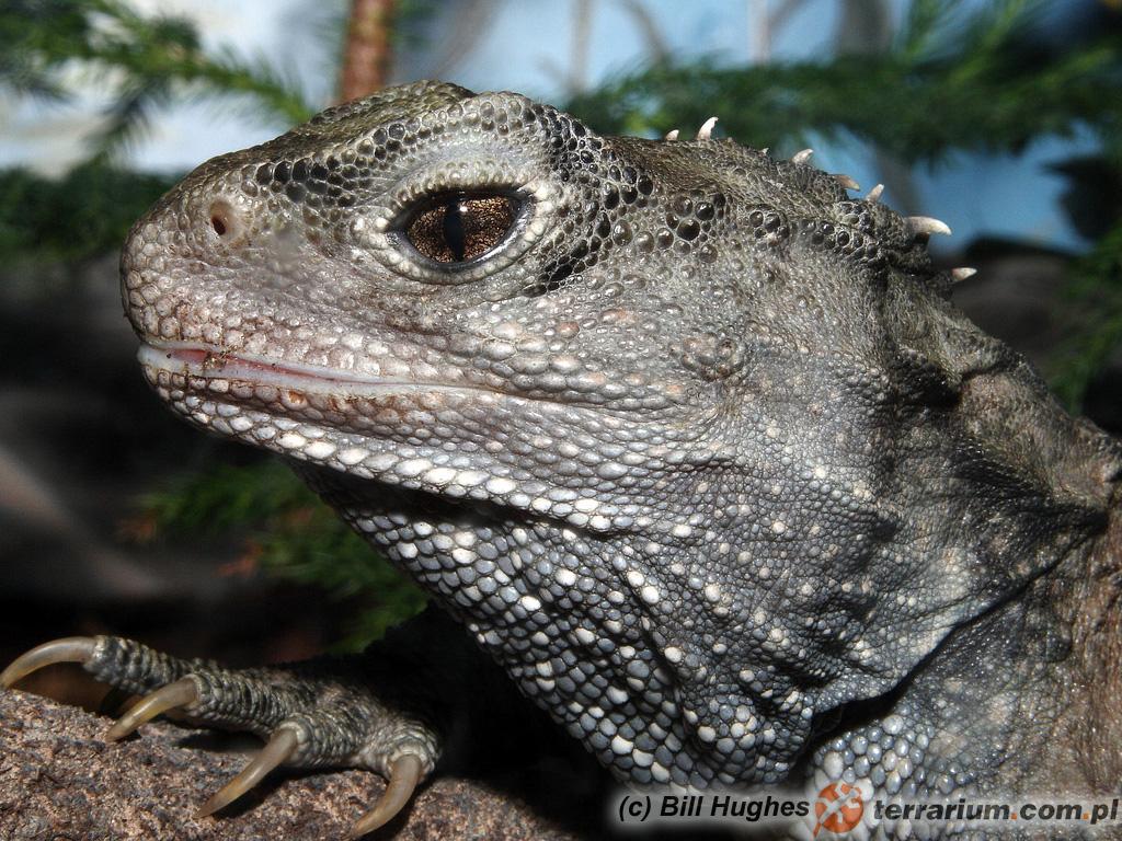 iguana ma dwa penisa