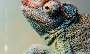 Trioceros (Chamaeleo) jacksonii – kameleon Jacksona