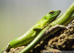 Lamprolepis smaragdina – scynk szmaragdowy