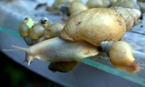 Achatina iredalei – ślimak olbrzymi*