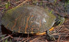 Żywienie żółwi wodnych
