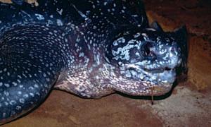 Dermochelys coriacea – żółw skórzasty