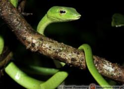 Ahaetulla nasuta – wąż bicz