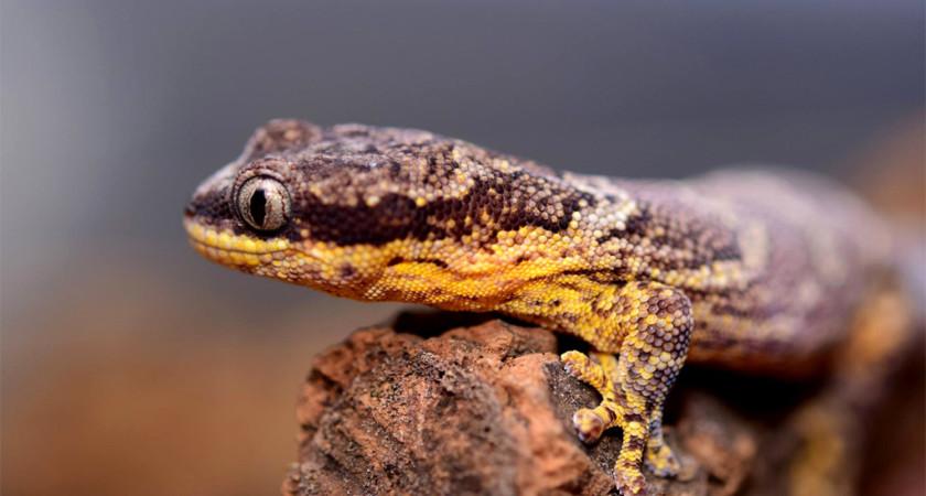 Homopholis fasciata – gekon żmijogłowy