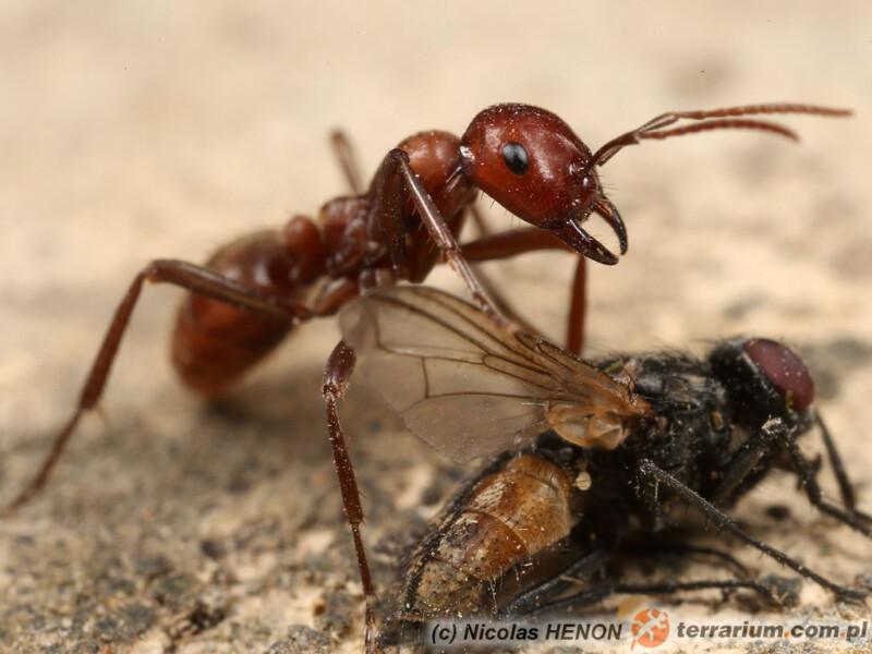 Polyergus rufescens - mrówka amazonka