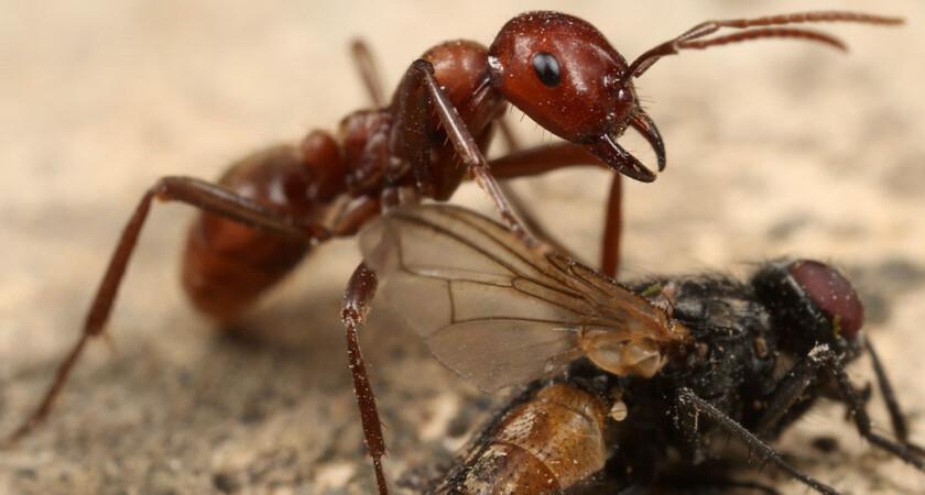 Polyergus rufescens – mrówka amazonka