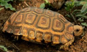 Kinixys erosa – żółw zawiasowy