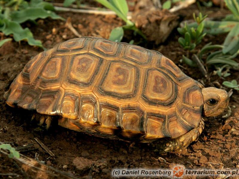 Kinixys erosa - żółw zawiasowy