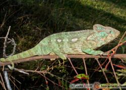 Furcifer oustaleti – kameleon olbrzymi