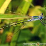 Odonata – ważki